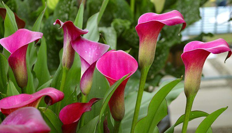 Tropische planten buiten? Het geheim is de plaatsing en de bemesting
